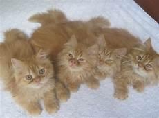 foto gatti persiani cuccioli cuccioli persiani petpassion
