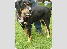 Bailey   Adopted Dog   London, ON   Bernese Mountain Dog