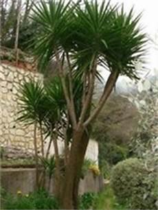 Taille Yucca Elephantipes Forums Plantes Exotiques