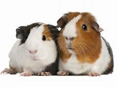 meerschweinchen und ratten katzen und m 228 usen