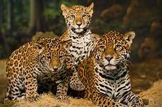 jaguar species facts conservation bigcatswildcats