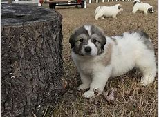 8 Adorable and Perfect Great Pyrenees
