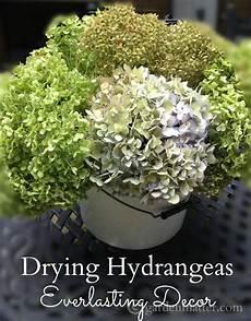 Drying Hydrangeas Lasting Decor Garden Matter