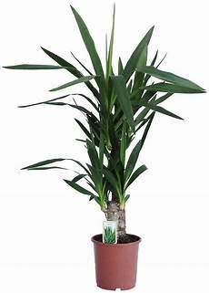 pflanze mit i dominik zimmerpflanze 187 yucca palme 171 h 246 he 60 cm 1