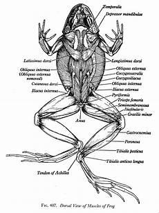 frog anatomy diagram labeled biology 2