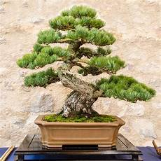 54 Pictures Of Bonsai Trees By Style And Shape