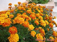 tagete fiore flores y plantas silvestres quot tagetes erecta quot quot tagetes