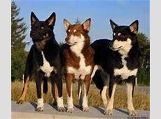 Hondeninformatie: Laplandse Herdershond