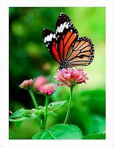 30 Foto Kupu Kupu Cantik Dan Indah Gambar Asli Dari Alam