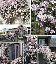 kübelpflanzen winterhart blühend rosa waldrebe clematis montana rubens kletterblumen
