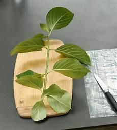 hortensien vermehren stecklinge stecklinge vermehren