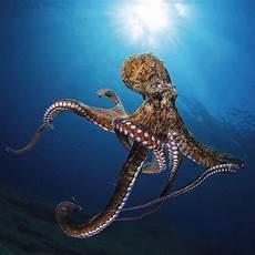 malvorlagen unterwasser tiere um bildergebnis f 252 r octopoda mit bildern oktopus