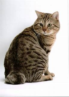 cat breeders cat photos and information