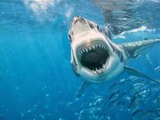 Kumpulan Gambar Ikan Hiu Lengkap Great White Shark Free