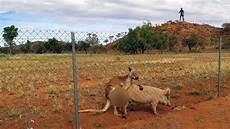 get australia kangaroo pig get it on marvin gaye style in