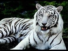Tonton Koleksi Hewan Harimau Putih Binturong Taman
