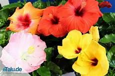 Zimmerhibiskus Die Beste Pflege Als Zimmerpflanze Talu De