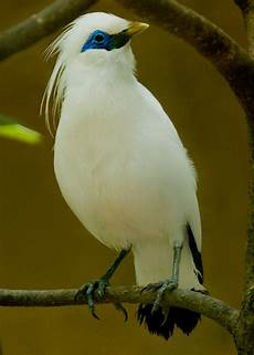 Burung Jalak Bali Leucopsar Rothschildi Artikel Gakkum Lhk