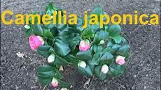 kamelien pflege schneiden duengen camellia japonica kamelie pflege 252 berwintern standort