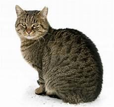 Malvorlage Gestreifte Katze Silberschattens Geheimnis Kapitel 1 Skylor