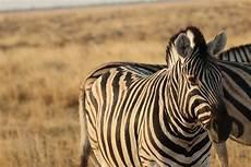 zebra bild zebra foto bild namibia tiere wildlife bilder auf