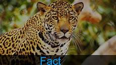 10 amazing jaguar facts youtube