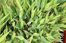 Bambus Braune Blätter - bambus bekommt gelbe bl 228 tter braune spitzen was tun