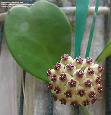 plante hoya kerrii todo dia 233 dia de jardinar minha hoya kerrii cora 231 227 o