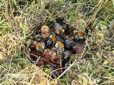 marderbau im garten erkennen how to identify and ground bees