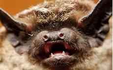 le chauve souris chauve souris 224 la d 233 couverte d un animal fabuleux dossier