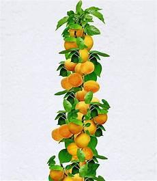Obstbäume Günstig Kaufen - s 228 ulen aprikose 1 pflanze g 252 nstig kaufen mein