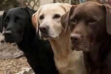 Hunde Ausmalbilder Labrador Labrador Retriever