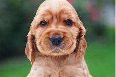 Ausmalbilder Hunde Cocker Spaniel Cocker Spaniel Hunderasse Freundlich Und Flexibel