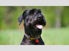 Giant Schnauzer   Information, Characteristics, Facts, Names