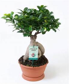 Kaufen Sie Jetzt Zimmerpflanze Bonsai Ficus Ginseng L