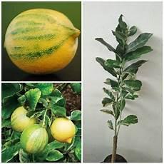 Tanaman Jeruk Lemon Variegata Bibitbunga