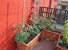 piante di pomodoro coltivate su un vegetale giardino in