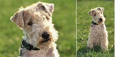 hunderassen mit bild vielseitig einsetzbar der terrier im hunderassen lexikon
