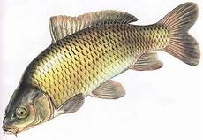 Deskripsi Ikan Cyprinus Carpio Biology Smart