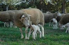 Sheep Ads Agriaffaires Uk