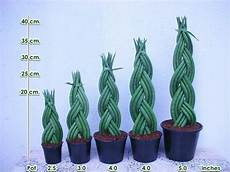 sansevieria cylindrica pflege sansevieria suffruticosa http www houseplant411