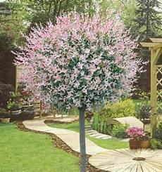 arbre pour petit jardin saule crevette sur tige plante en ligne deco jardin