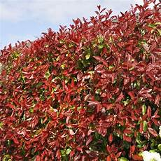Potted Photinia Plants Robin On Sale Shop Now