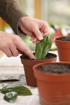 zamioculcas vermehren vom blatt zur neuen pflanze