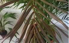 kentia palme braune blätter goldfruchtpalme bekommt braune bl 228 tter