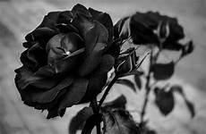 Cari Gambar Bunga Mawar Hitam