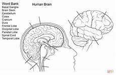 human brain worksheet coloring page free printable coloring pages