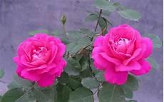flower wallpaper mp3 pink flower wallpaper cinema mp3 actresse