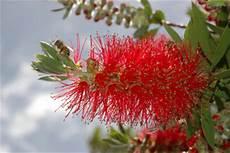 pflanze mit roten blüten zylinderputzer pflege