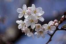 fior di ciliegio poesia quot il ciliegio in fiore quot gussago news